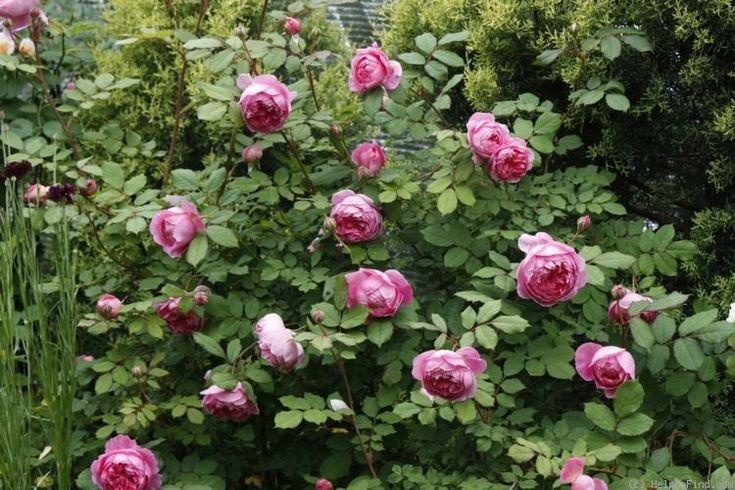 165 besten garten bilder auf pinterest englische rosen. Black Bedroom Furniture Sets. Home Design Ideas