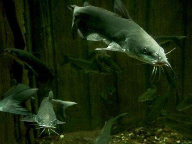 17 Best Ideas About Catfish Fishing On Pinterest Catfish Bass Fishing And Bass Fishing Tips