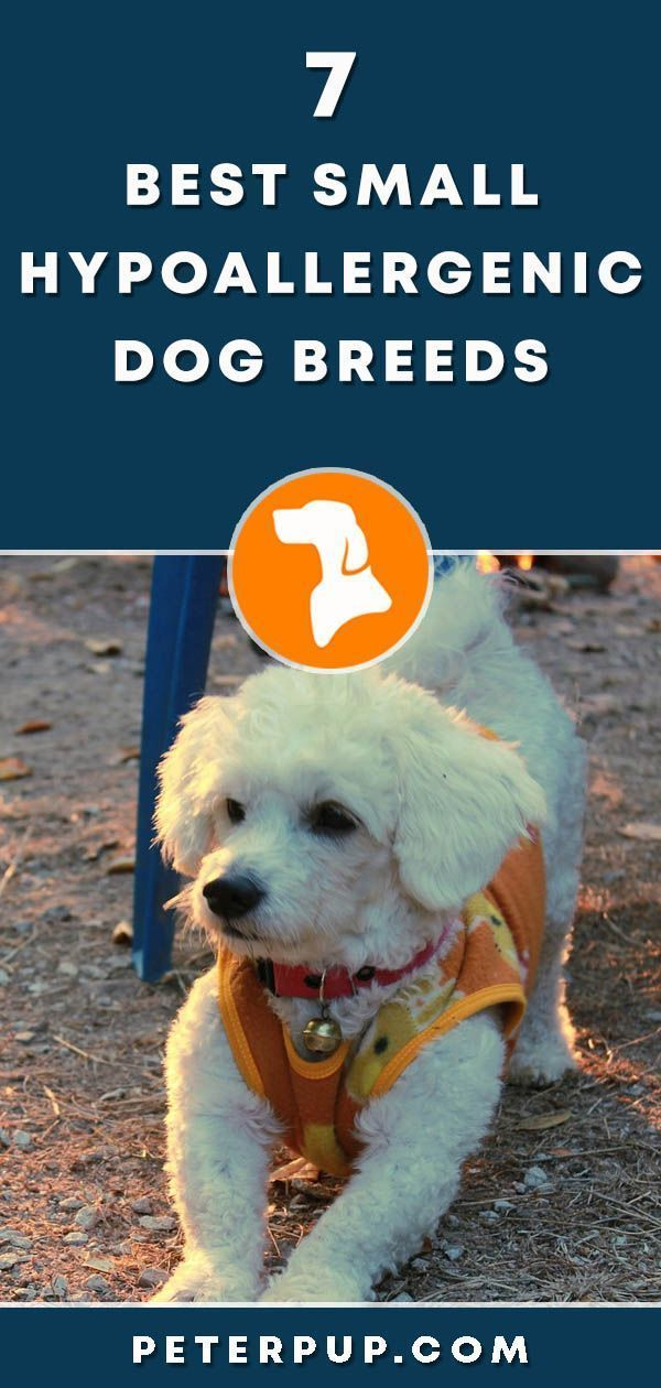 7 Best Recommended Small Hypoallergenic Dogs