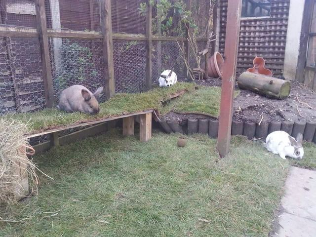 17 best images about rabbit run ideas on pinterest for Outdoor rabbit enclosure ideas