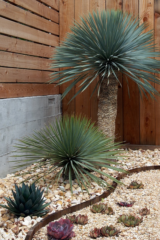 Yucca rostrata (back and middle) and Agave 'Blue Glow' (lower left)