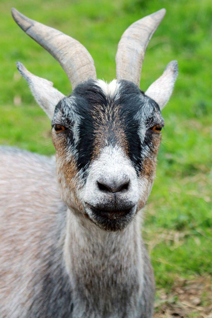 Animal, Close Up, Farm, Goat, Horns, Macro, Photography