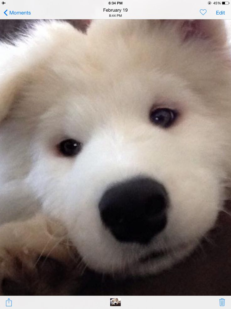 This is Puck, a Samoyed puppy