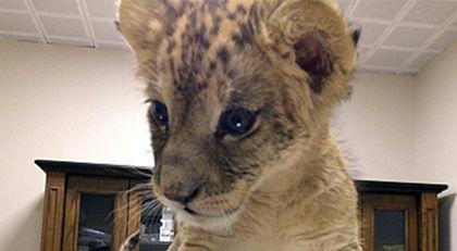 Cizre'de yol kontrolünde yavru aslan bulundu