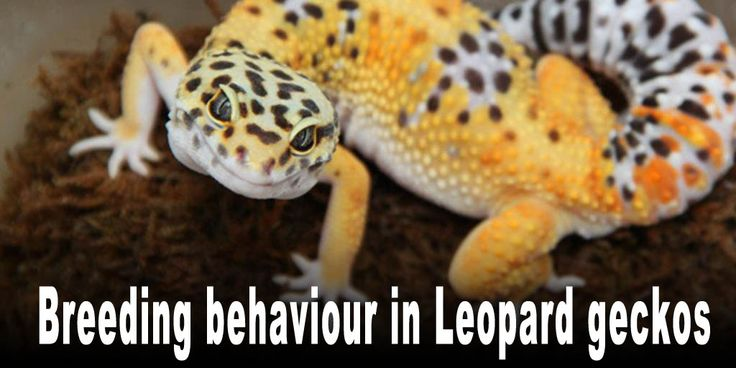 Breeding behaviour in Leopard geckos Breeding behaviour is often seen with adult male and female Leopard geckos during the phases of copulation. This unique, and often considered bizarre, behaviour is mostly visible during the courting phases where males show their interest and readiness their breeding mates. http://www.leopardgeckos.co.za/breeding-behaviour-in-leopard-geckos/