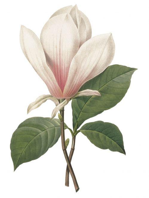 magnolia by Pierre-Joseph Redoute (1759-1840)