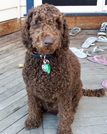 What Food Do Goldendoodles Eat