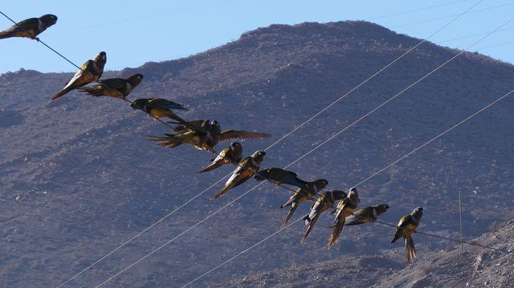 Sabiéndose protegidos por la comunidad de Incahuasi, los loros tricahue han hecho suyo el pueblo y es posible verlos y escucharlos todo el día. Además la zona de nidada se encuentra cerca, en una quebrada donde el arte rupestre es magnifico.