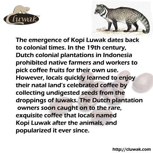 How Kopi Luwak is found!?