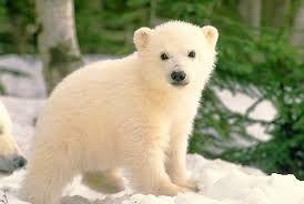 baby polar bear wallpaper - Google zoeken