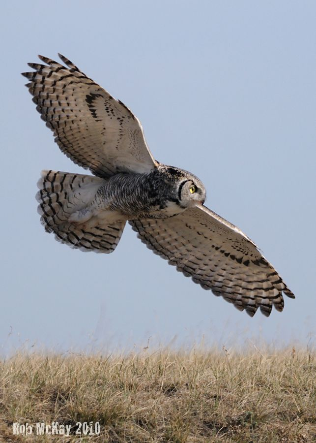 owls in flight pictures | Great Horned Owl In-Flight : Nature Wildlife Photography Calgary ...