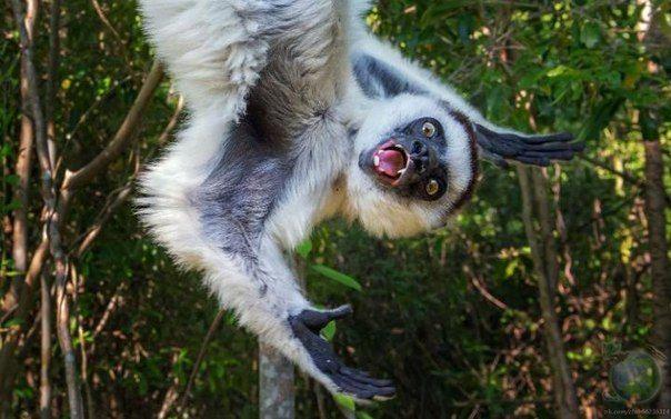 Сифака Верро вклинилась в кадр, когда бельгийский фотограф Stefan Cruysberghs проводил съёмку в джунглях на Мадагаскаре