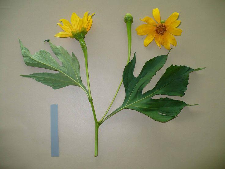 Tanaman herbal Rondo Semoyo atau kipahit atau tanaman insulin untuk pengombatan diabetes mellitus.