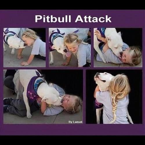 Pitbull Attack....I have experienced this type I attack firsthand...it's a slobbery, sweet, wonderful mess