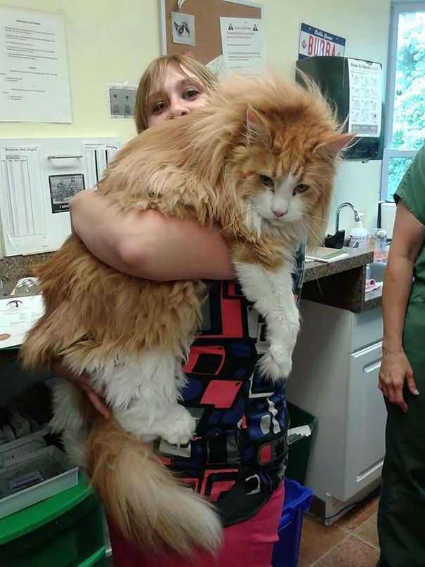 These 21 Images will Show You the Remarkable Size of Maine Coon Cats  I want a Maine coon!!!