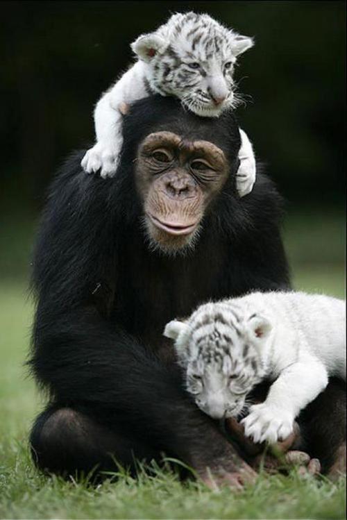 Tão bonitos são estes filhotes de tigre  com o chimpanzé