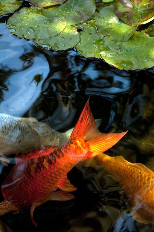 Koi carp and koi ponds on pinterest for Japanese carp fish
