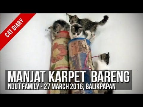 [Cat Diary] : Ndut Family - Manjat Karpet