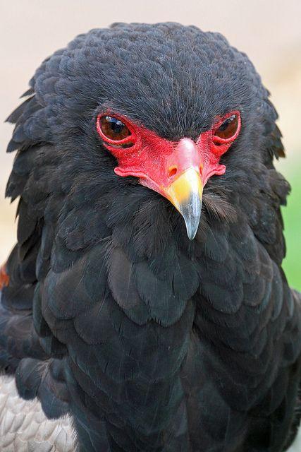 ~~Bateluer Eagle - 'Snake Eagle' by Buggers1962~~