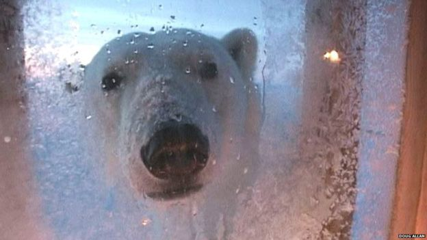 Polar bear at window
