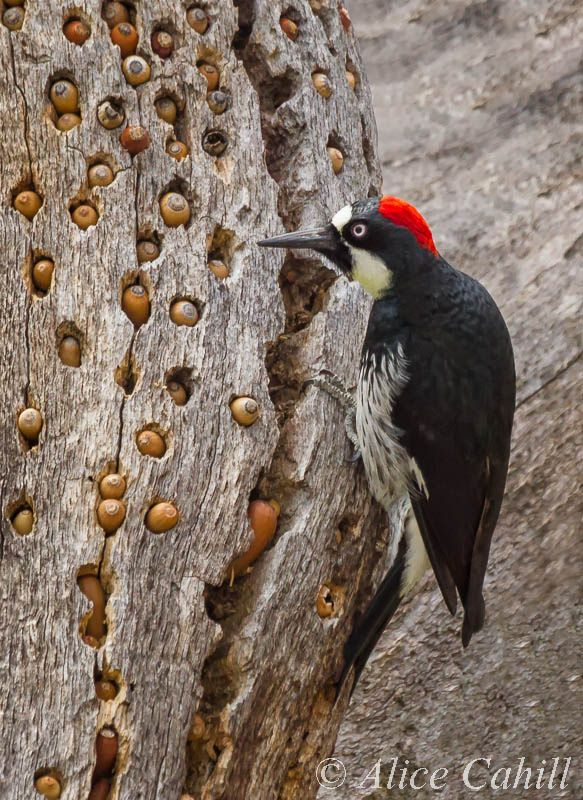 [Image: c4a7e0972293207138395691eedd1f86--woodpeckers-snack.jpg]