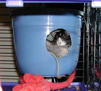 DIY rat cage accessories.  Nice hiding spot out of a cheap plastic flower pot.
