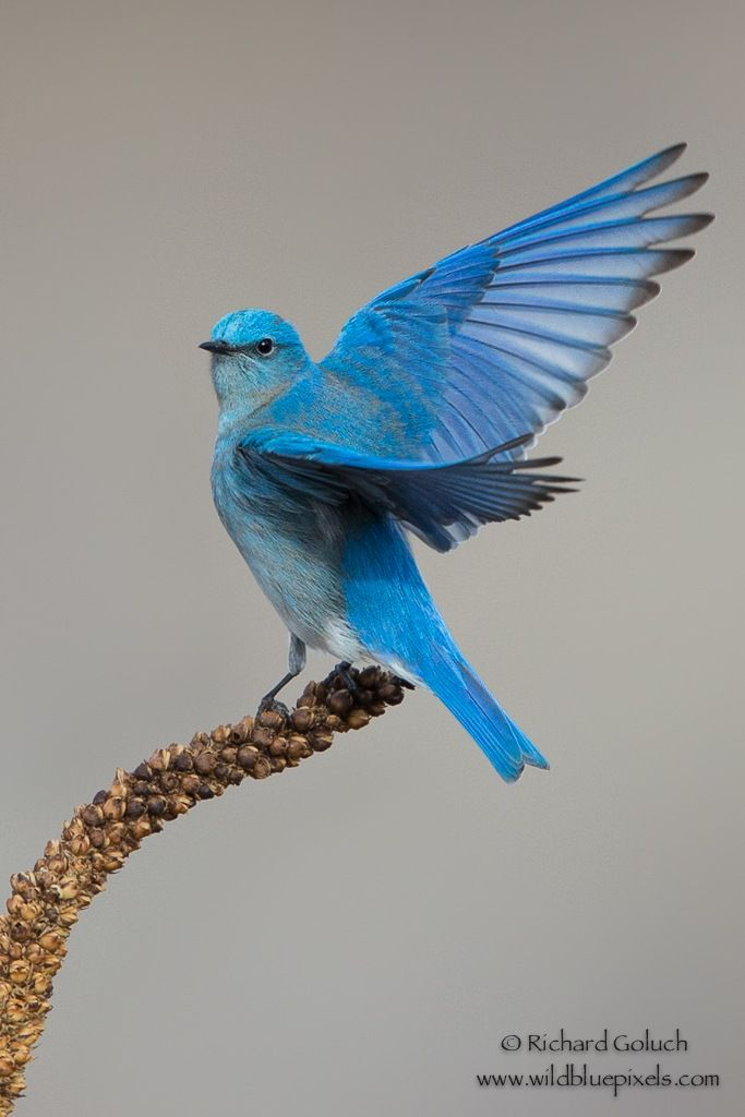 Mountain Bluebird displaying. by Richard Goluch on 500px