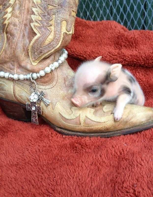 micro mini pigs - For Sale - Pigs