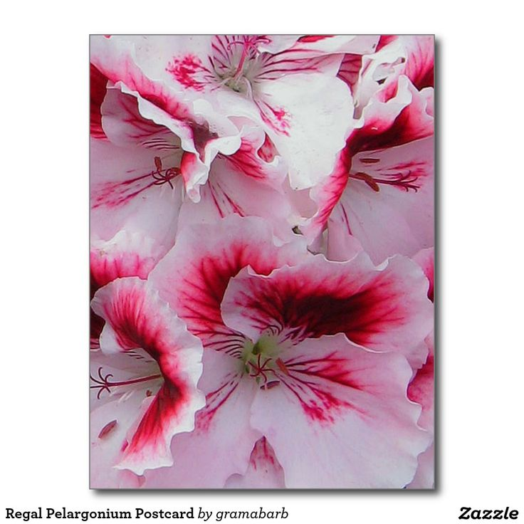 Regal Pelargonium Postcard