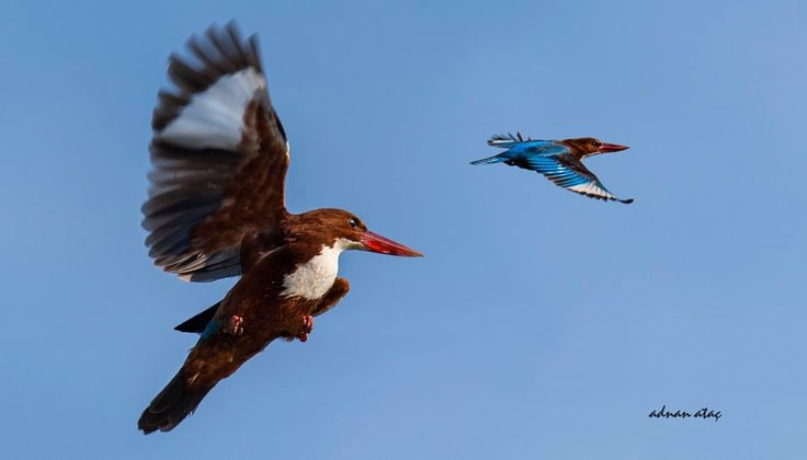İzmir yalıçapkını - White throated Kingfisher - Halcyon smyrnensis by ADNAN ATAÇ            Tuzla - Adana            ADNAN ATAÇ: Photos                                 #animals #photography