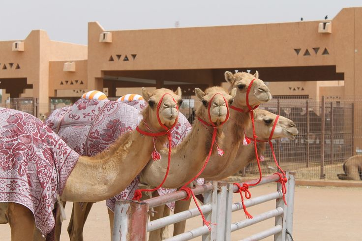 The camel market of Al AIn City at Mezyad Road, being the largest market in UAE perhaps the best tourist hotspot for camel lovers to enjoy the camel heritage of UAE which you will hardly find elsewhere.