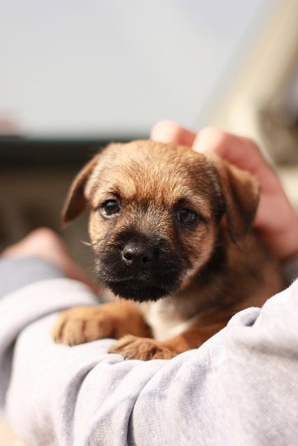 Border Terrier Puppy! Hard to believe my little Cassie used to look like this.