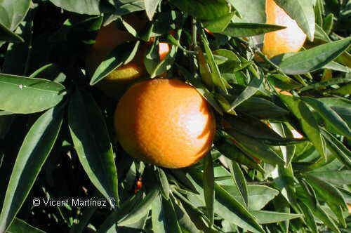 Orange Leaf Tea Benefits from Botanical Online  (http://www.botanical-online.com/medicinalstarongerangles.htm)