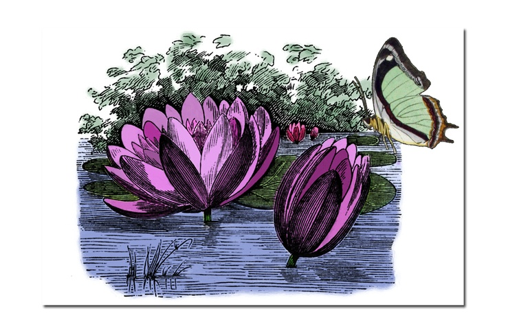 Hand coloured vintage waterlilies
