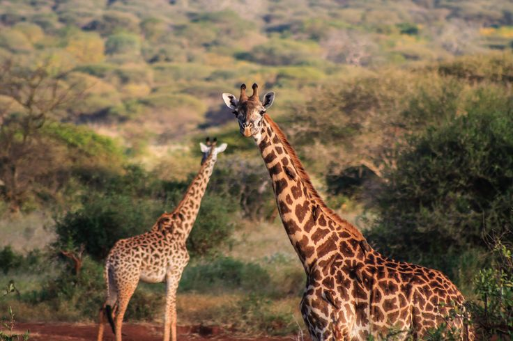 Фотография giraffe автор Massimo Galeno на 500px