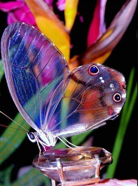Фантомная бабочка обитает в Южной Америке.
