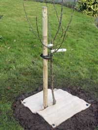 Planting Bare-Rooted Fruit Trees, informative article on how to plant new trees.