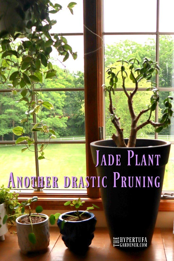 Jade Plant Pruning Major Surgery Again What A Fast Grower Jade Plant Pruning Jade Plants Plants