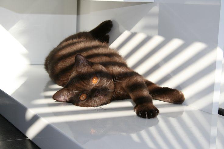 Meet Jules! Our chocolate british shorthair...