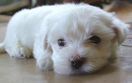 Mini Maltese poodle.Diamonds Bracelets, Malt Terriers, Malt Dogs, Cute Puppies Pictures, Maltese Poodle, Nonfiction Texts Features, Minis Malt, Malt Puppies, Pearls Bracelets