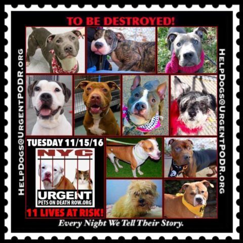 11 BEAUTIFUL LIVES TO BE DESTROYED 11/15/16 tbd-dogs-page/ - Click for info & Current Status: http://nycdogs.urgentpodr.org/to-be-destroyed-4915/