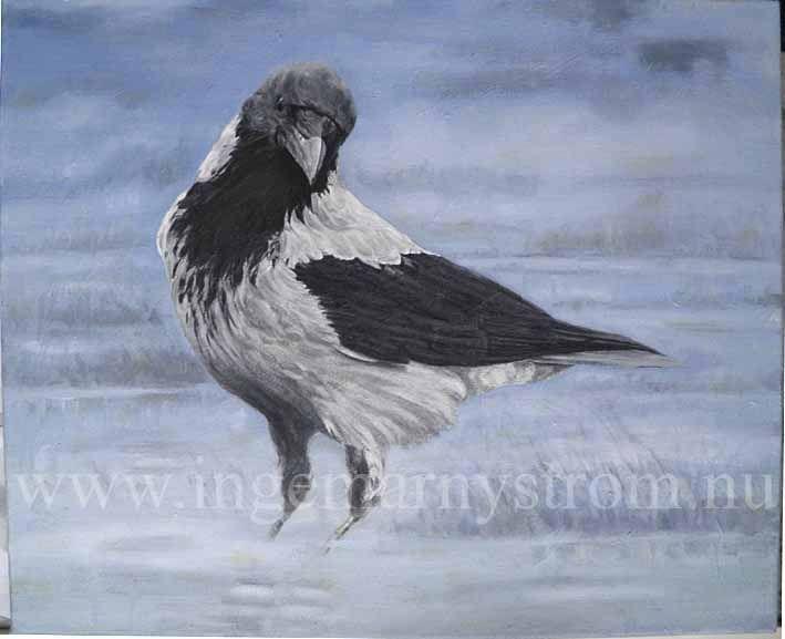 kråka crow nebelkrähe