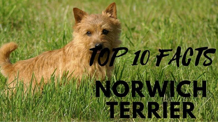 Norwich Terrier - Top 10 Interesting Facts