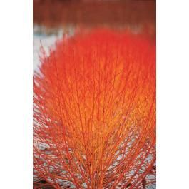 Le cornouiller fluo est un arbuste apprécié pour ses nombreux atouts. S'il est insensible au froid et aux parasites, indifférent quant au type de sol dans lequel il est planté (médiocre, argileux, calcaire) et facile à vivre, c'est surtout pour ses rameaux orange « fluo » en hiver qu'il doit son succès. Plantez-le en massif, en haie champêtre ou même en isolé pour profiter chaque année de ce spectacle mis en valeur par la proximité d'arbustes aux feuillages persistants vert foncé (céanothe…