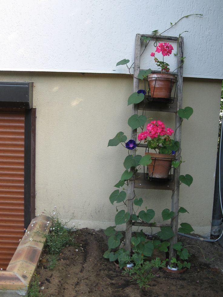 Vieille échelle du poulailler de Belle- Maman. Plante grimpante: Volubilis + Géranium.  24/07/2016