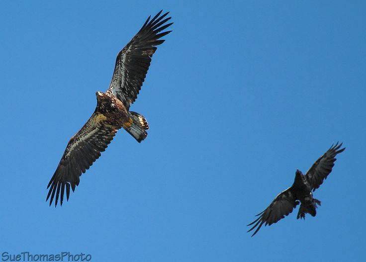 Juvenile Bald Eagle being chased by a raven in the air, near Whitehorse, Yukon