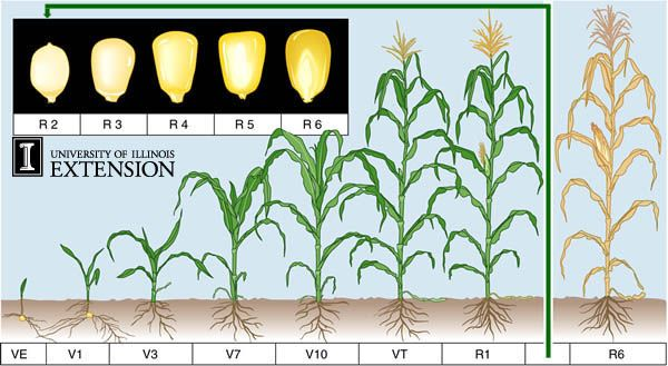 CornStages Great information about the stages of corn while growing. Good for large farms and small backyard gardens