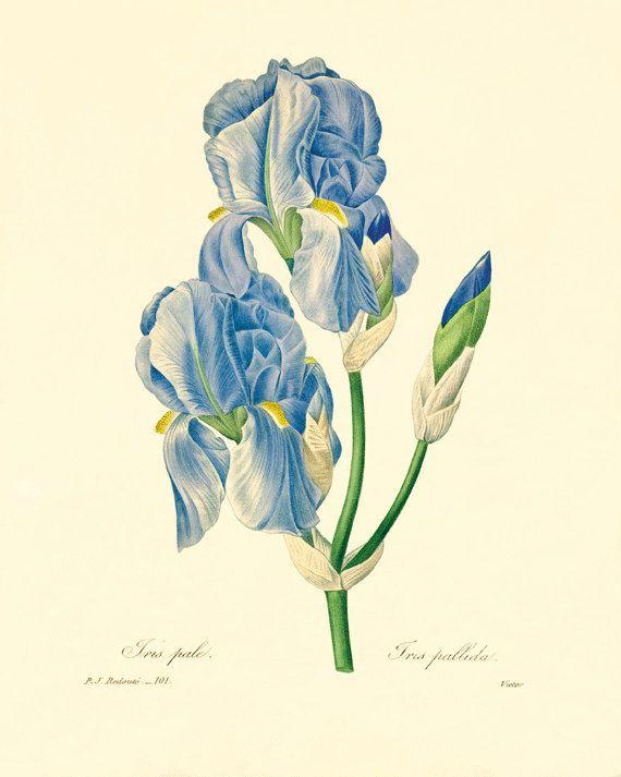 Vintage Iris 15