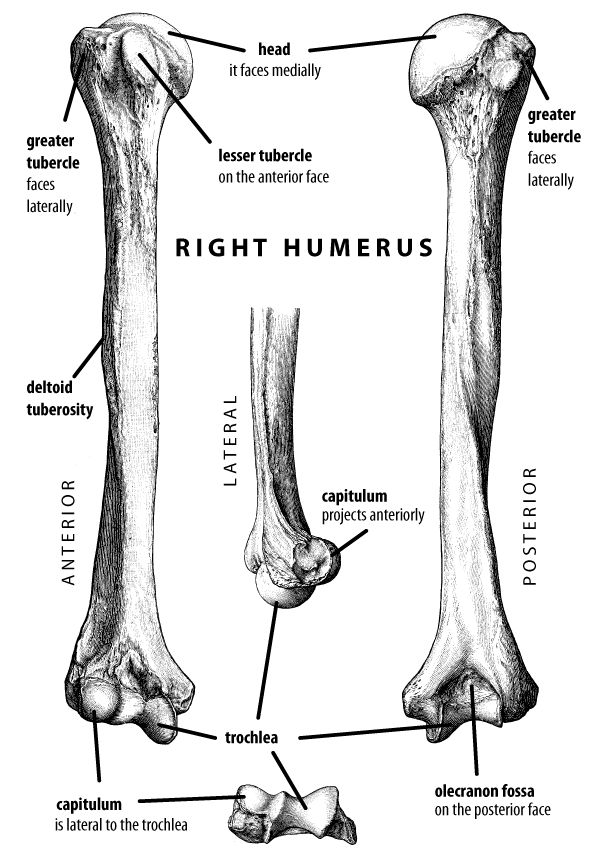 11 best Radiography - Humerus/Elbow/Forearm images on Pinterest ...