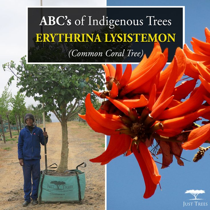This small to medium sized deciduous tree is fast-growing and low maintenance, with beautiful red/orange flowers. It works beautifully not only as a decorative tree but also as a street tree and tolerates drought fairly well, but is sensitive to the cold.